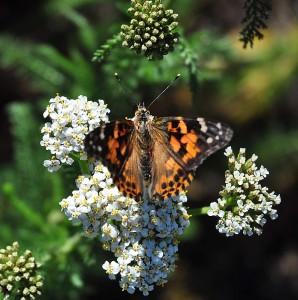 Splash Pad Butterfly